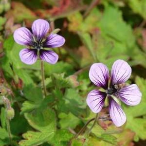 geranium-hybride-salome-7752-1.jpg
