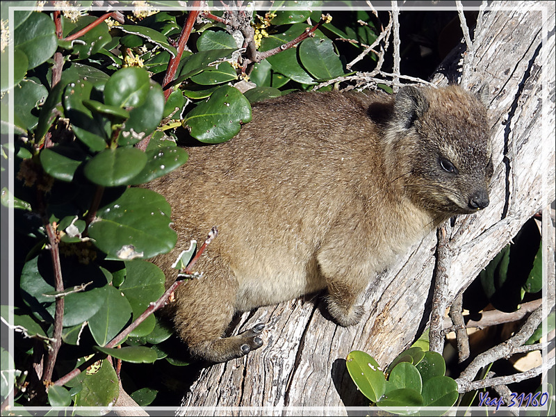 Jeunes Damans des rochers, Daman du Cap, Rock rabbit, Cape hyrax, Dassie (Procavia capensis) - Camps Bay - Cape Town - Afrique du Sud