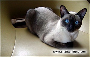 photo-chat-siamois