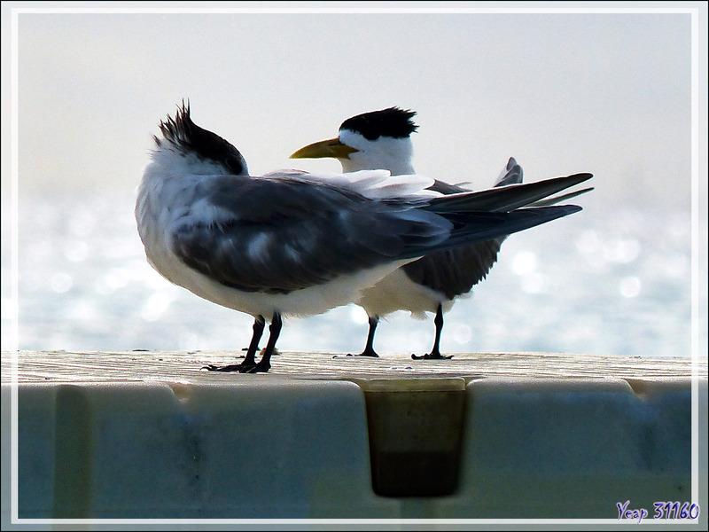 Sterne huppée, Greater Crested Tern (Thalasseus bergii) - Rotoava - Atoll de Fakarava - Tuamotu - Polynésie française