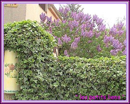jardin 24.04.10 011entrée lilas tuile GF