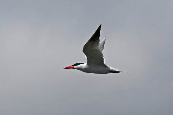 Caspian Tern - Long Beach