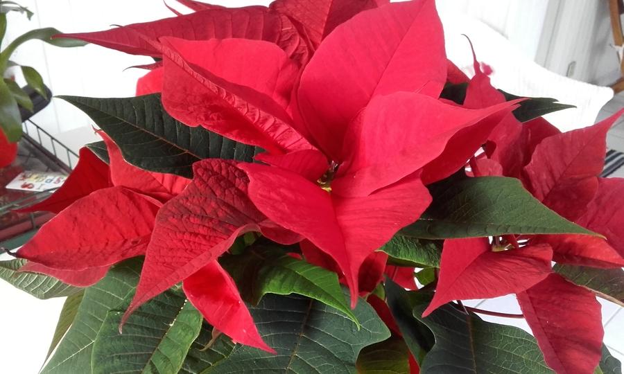 l 'étoile   rouge  de Noel