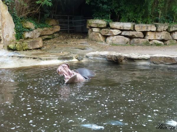 Hippopotames Amneville (16)