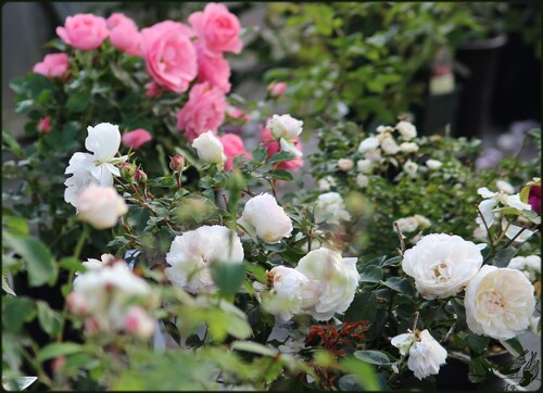 Portes Ouvertes 'Parfums D'Automne' Chez Filroses(2)