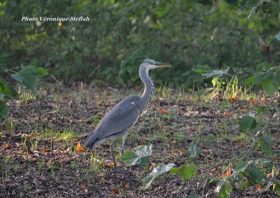 Domaine de Rambouillet : La faune