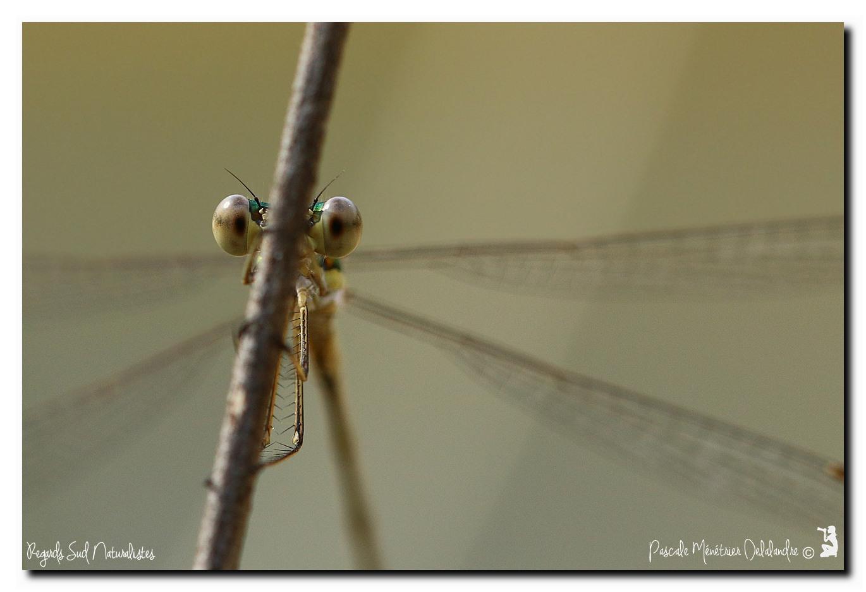 Leste verdoyant ♂ (Lestes virens)