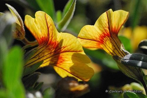 Fleur de Calibrachoa