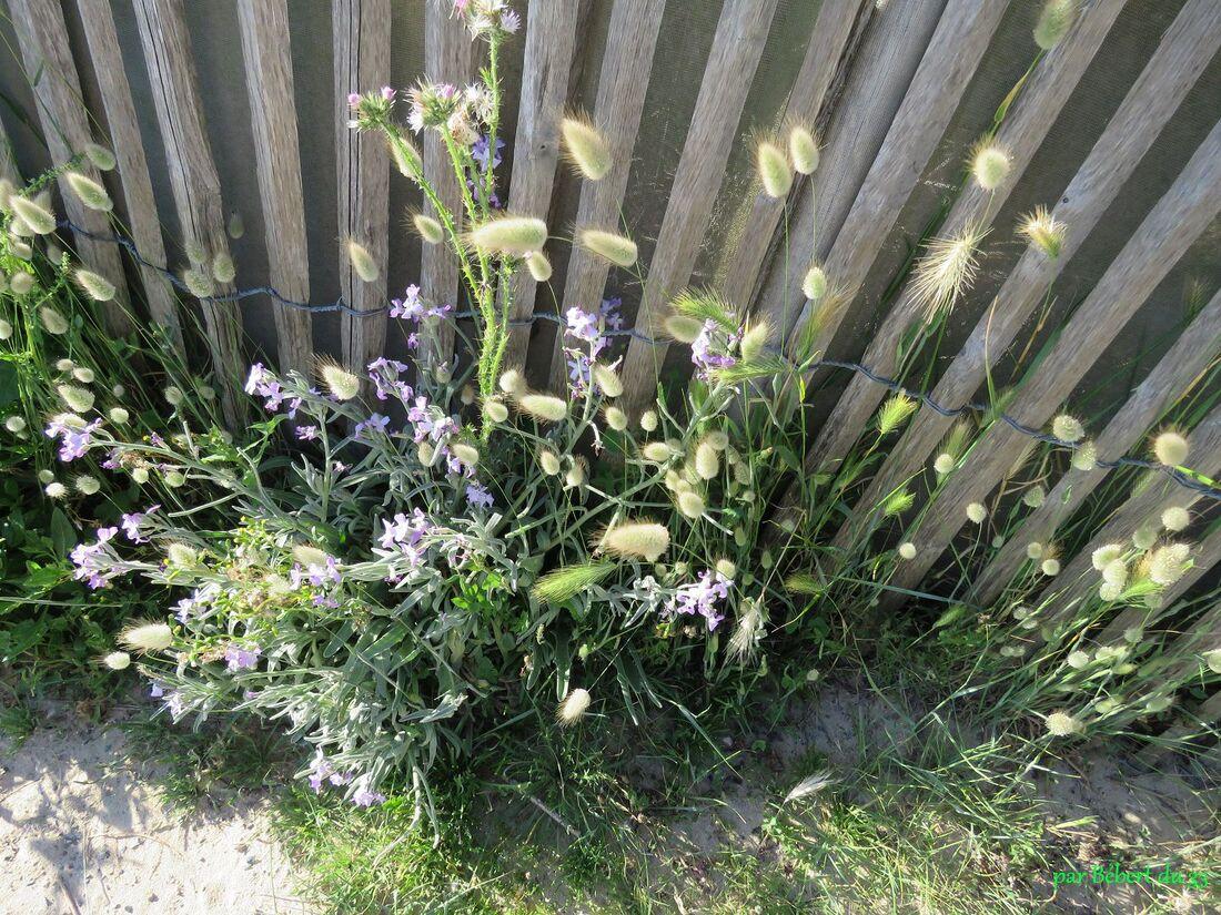 des fleurs sur l'ile de Ré (17)