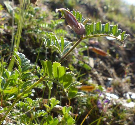 Vicia pyrenaica  -  vesce des Pyrénées