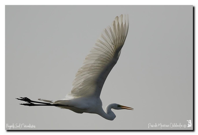 Grande Aigrette en vol dans le ciel gris de Camargue