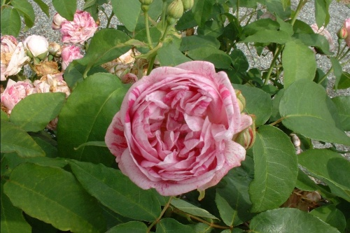 Confit de Roses de Provins...dessert du moyen âge.. du XI è siècle..