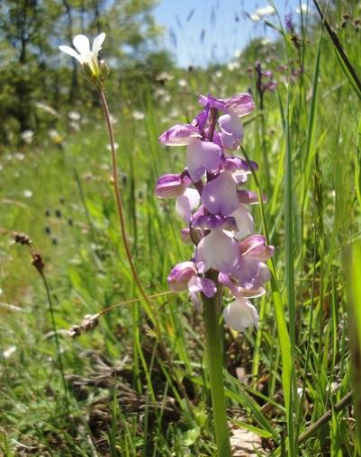 1 - Orchidées :   Anacamptis, céphalanthéra, cypripédium, dactylorhiza