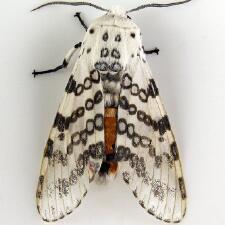 Un jolie petit papillon de nuit. 2ème partie