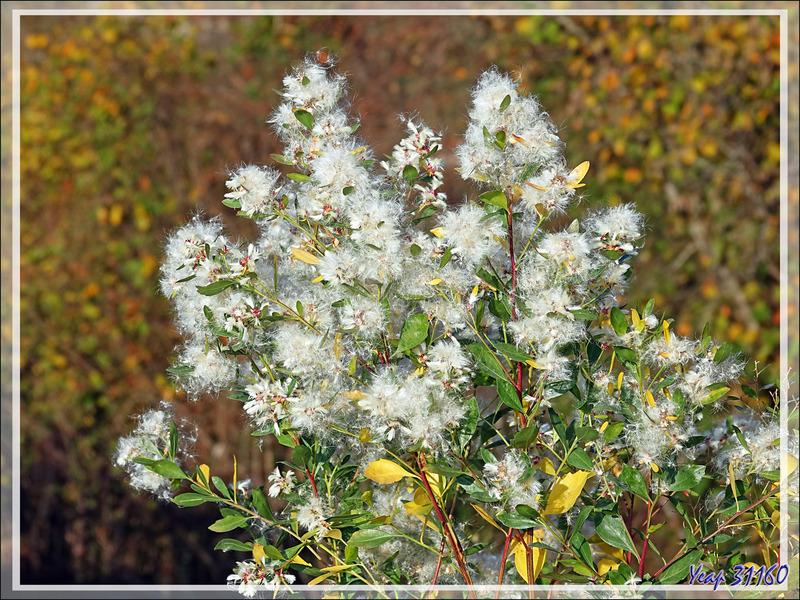 Baccharis, Séneçon en arbre, Bacchante de Virginie, Faux-cotonnier, Consumption-Weed, Coyote Bush (Baccharis halimifolia)