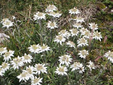 21 Août 2014 - Randonnée d'été: edelweiss au Pas de Serre-Brion