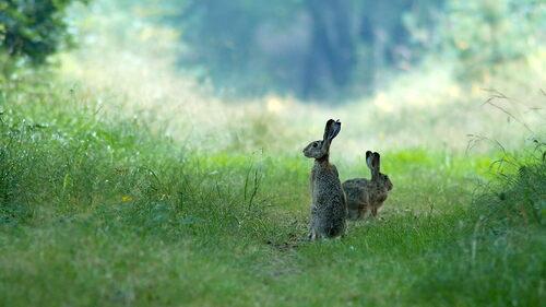 Lièvres en forêt...