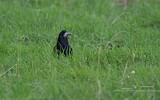 Corbeau freux - p288