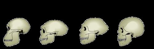 Evolution du crâne des hominidés