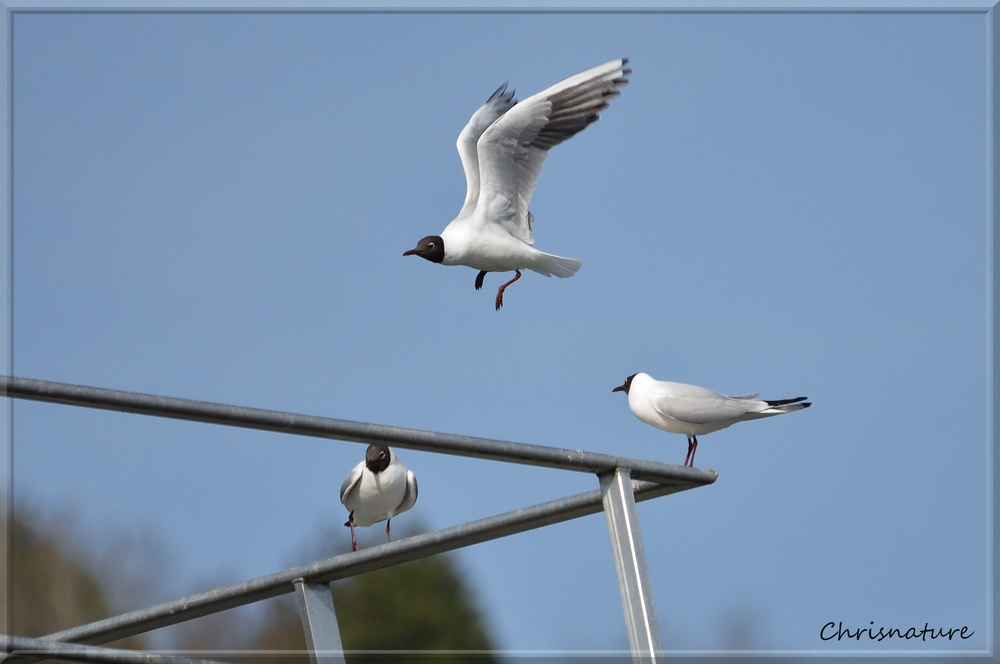 Mouettes Rieuse