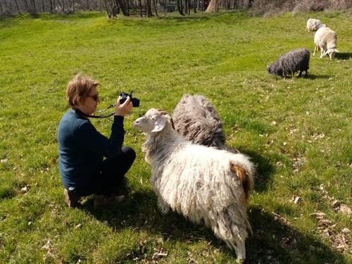 Les chèvres en ballade dans le jardin
