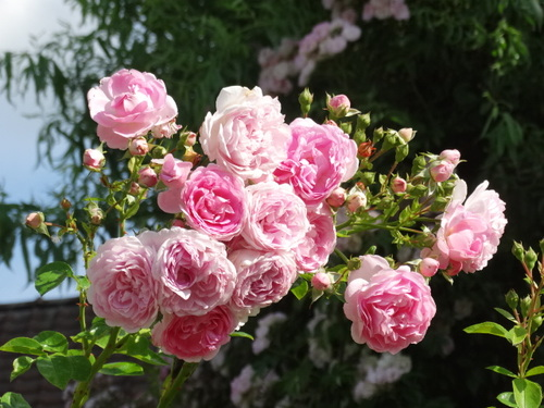 Un rosier coup de coeur: Jasmina
