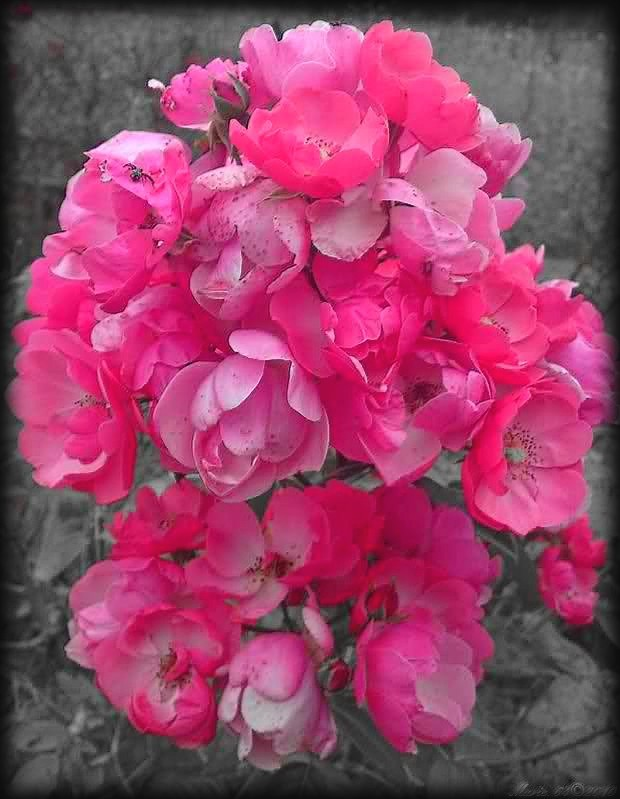 arbuste-de-roses.jpg