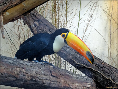 Photo de toucan toco (Zoo du bassin d'Arcachon)