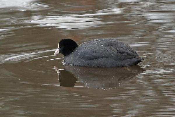 Foulque macroule - Le Teich