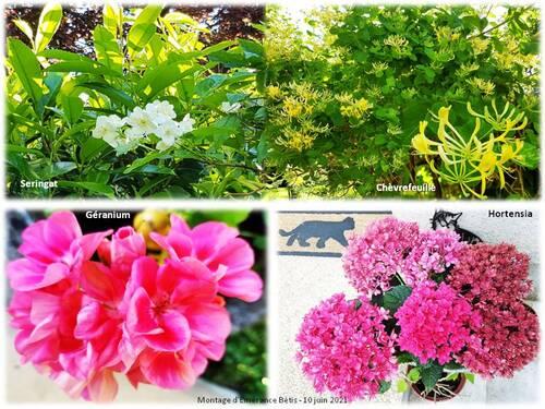 Les fleurs de juin dans mon jardin