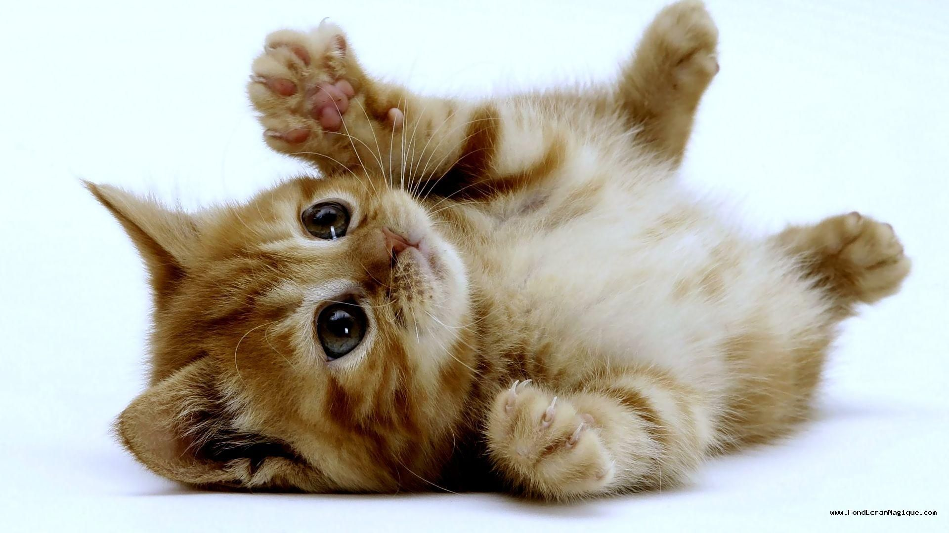 Trop mimi   Cute kittens, Chats adorables, Chatons tigrés