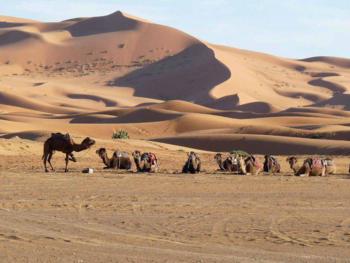 chameaux repos