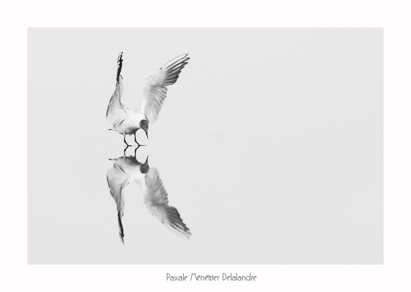 Mouette rieuse (High key)