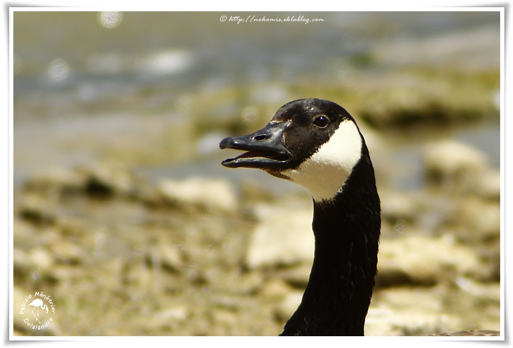 Bernache du Canada - Branta canadensis - Canada Goose