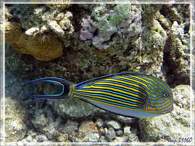 Snorkeling : Chirurgien clown, Chirurgien à lignes bleues, Chirurgien zèbre, Lined surgeonfish (Acanthurus lineatus) - Moofushi - Atoll d'Ari - Maldives