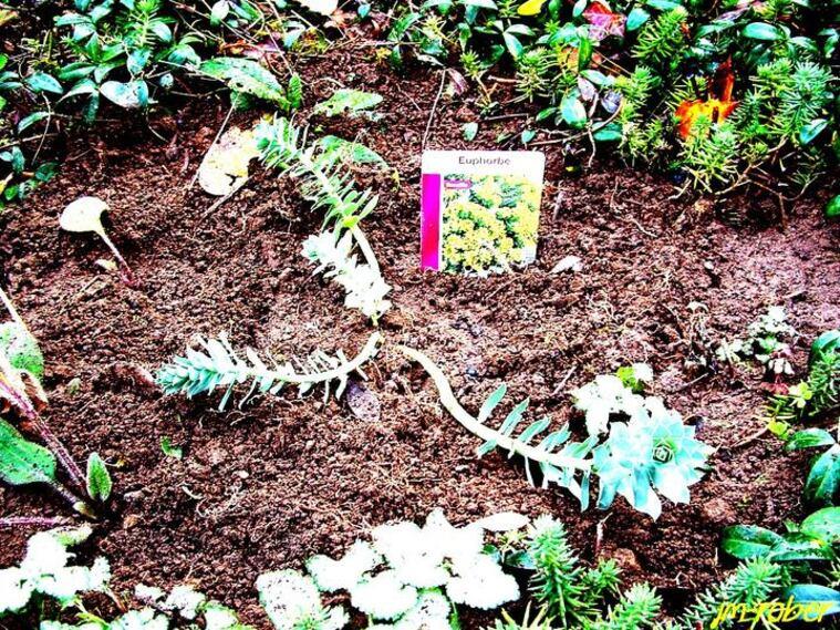 L'Euphorbe Myrsinistes ou Euphorbe de Corse ,une plante mystérieuse et tapissante