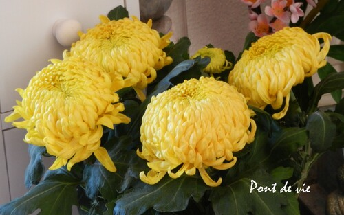 LE CHRYSANTHEME