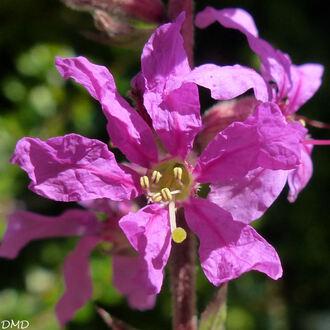 Lythrum salicaria - salicaire