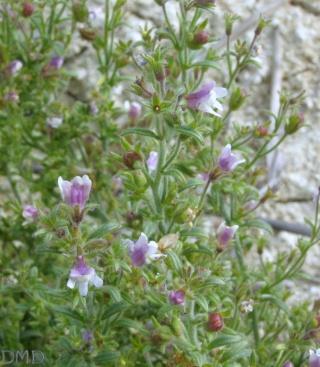 Chaenorrhinum minus - petite linaire