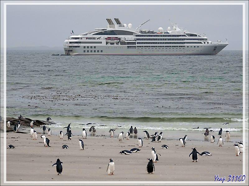 Un dernier Huîtrier de Garnot, un dernier Goéland de Scoresby avant d'embarquer sur un Zodiac qui va nous ramener sur le Lyrial - Saunders Island - Falkland (Malvinas, Malouines) - Grande-Bretagne