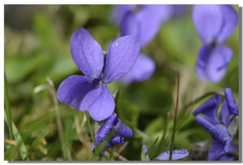 Timides violettes