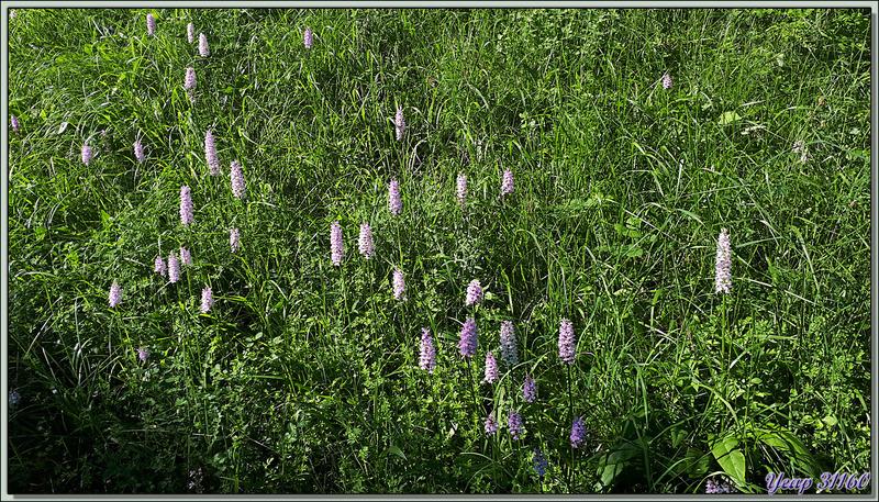 Regroupement d'un belle station d'Orchis tacheté (Dactylorhiza maculata) et de restes de beaux salopards de fumeurs - Pas du Bouchet - St-Pé-d'Ardet - 31