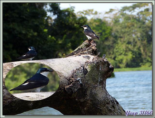 Blog de images-du-pays-des-ours : Images du Pays des Ours (et d'ailleurs ...), Hirondelle des mangroves (Tachycineta albilinea) - Tortuguero - Costa Rica
