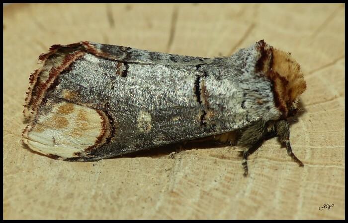 Phalera bucephala.