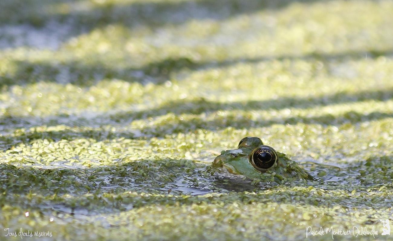Grenouilles Pelophylax sp.