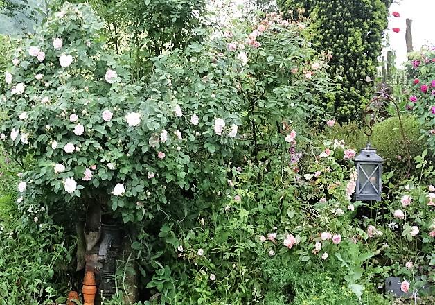 Balade parmi  les roses 2