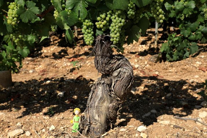 Le Vignoble de Chablis, le Petit Prince