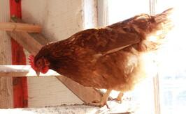 Histoire de poules