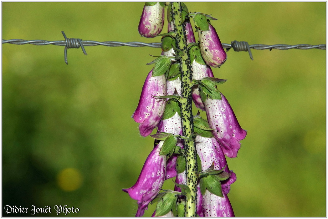 Digitale Pourpre / Digitalis purpurea