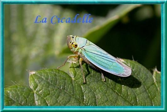 Cicadella viridis web